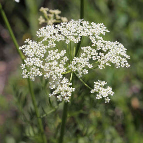 Caraway - (Carum Carvi) Seeds