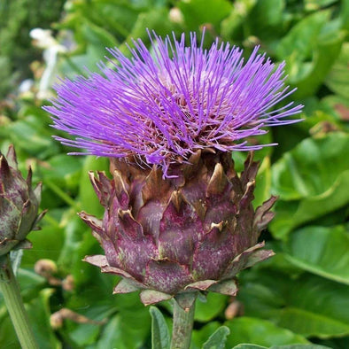 Cardoon Porto Spineless - (Cynara Cardunculus) Seeds