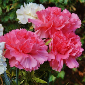 Carnation Mix - (Dianthus Caryophyllus) Seeds