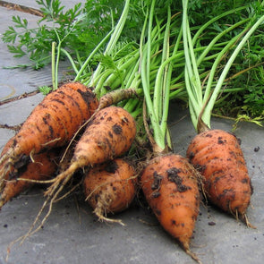 Carrot Chantenay Red Cored - (Daucus Carota Sativus) Seeds