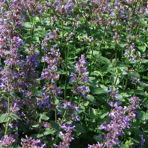 Catmint Blue - (Nepeta Mussinii) Seeds