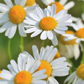 Chamomile German - (Matricaria Recutita) Seeds