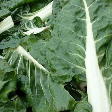 Chard Fordhook - (Beta Vulgaris Flavescens) Seeds