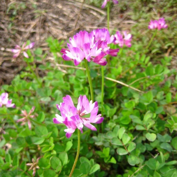 Chinese Milkvetch - (Astragalus Sinicus) Seeds
