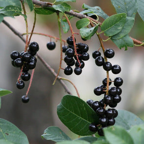 Chokecherry Black - (Prunus Virginiana) Seeds