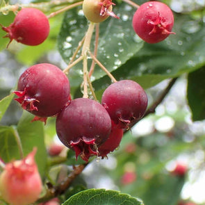Chuckleberry - (Amelanchier Canadensis) Seeds