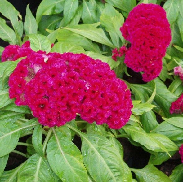 Cockscomb Cramers Burgundy - (Celosia Cristata) Seeds
