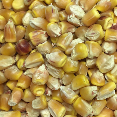 Corn (Dent) Reids Yellow - (Zea Mays) Seeds