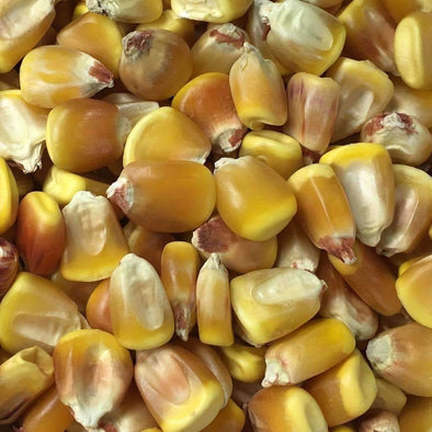 Corn (Dent) Truckers Favorite (Yellow) - (Zea Mays) Seeds