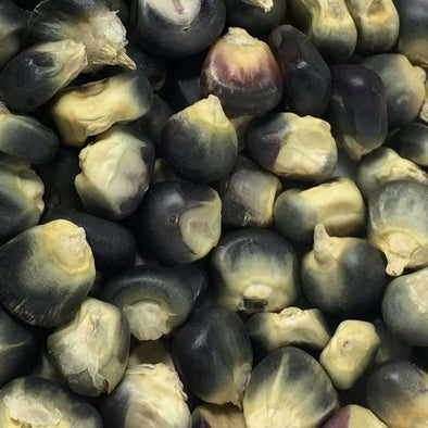 Corn (Flint) Hopi Blue Improved - (Zea Mays) Seeds