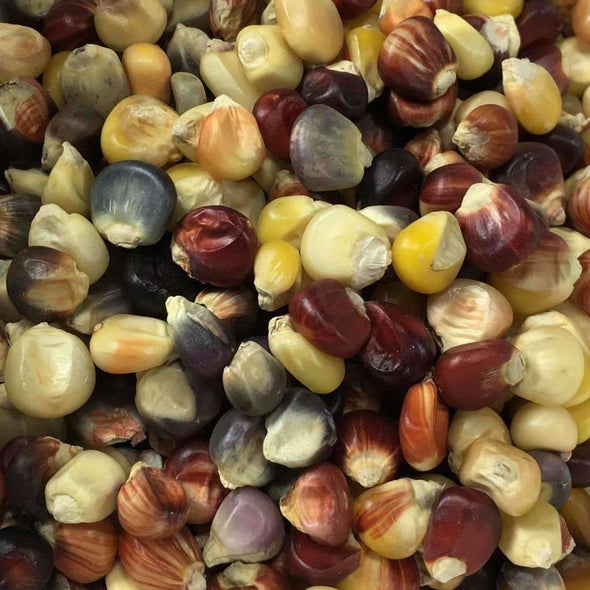 Corn (Flint) Indian - (Zea Mays) Seeds