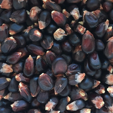 Corn (Popping) Dakota Black - (Zea Mays) - Ossi Seeds