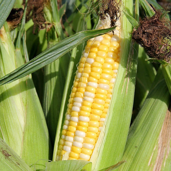 Corn (Sweet) Double Standard - (Zea Mays) Seeds