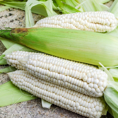 Corn (Sweet) Luther Hill - (Zea Mays) Seeds
