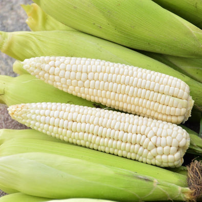 Corn (Sweet) Tuxana (White) - (Zea Mays) - Ossi Seeds