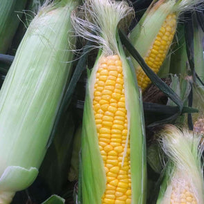 Corn (Sweet)Golden Bantam - (Zea Mays) Seeds