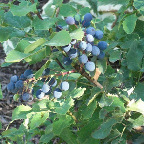 Creeping Oregan Grape - (Mahonia Repens) Seeds