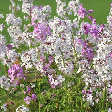 Dames Rocket Mixed Colors - (Hesperis Matronalis) Seeds