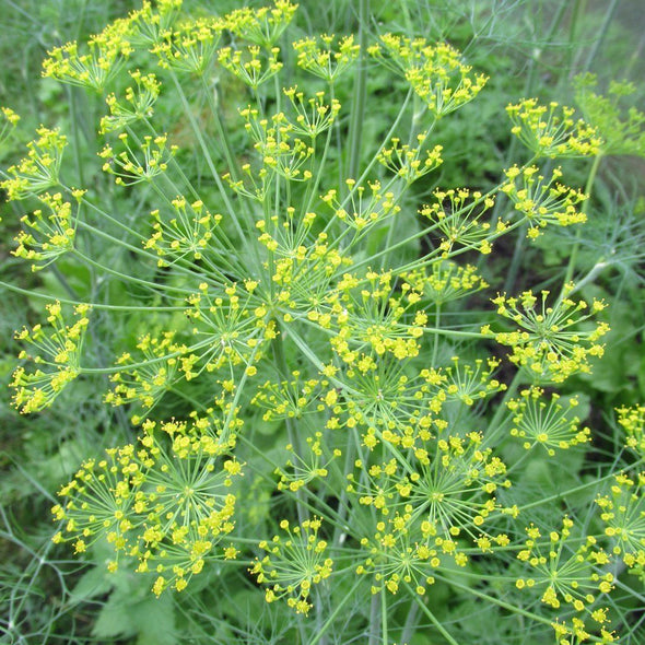 Dill 'Mammoth Long Island' - (Anethum graveolens)
