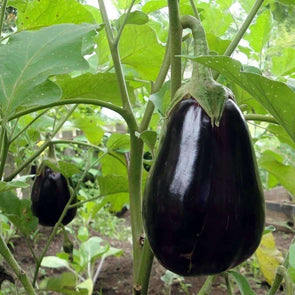 Eggplant Black Beauty - (Solanum Melongena) Seeds