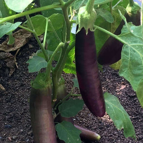 Eggplant Long Purple - (Solanum Melongena) Seeds