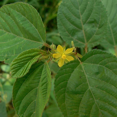 Egyptian Spinach Molokhia Jute - (Corchorus Olitorius) Seeds