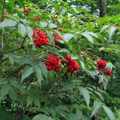 Elderberry European Red - (Sambucus Racemosa) Seeds