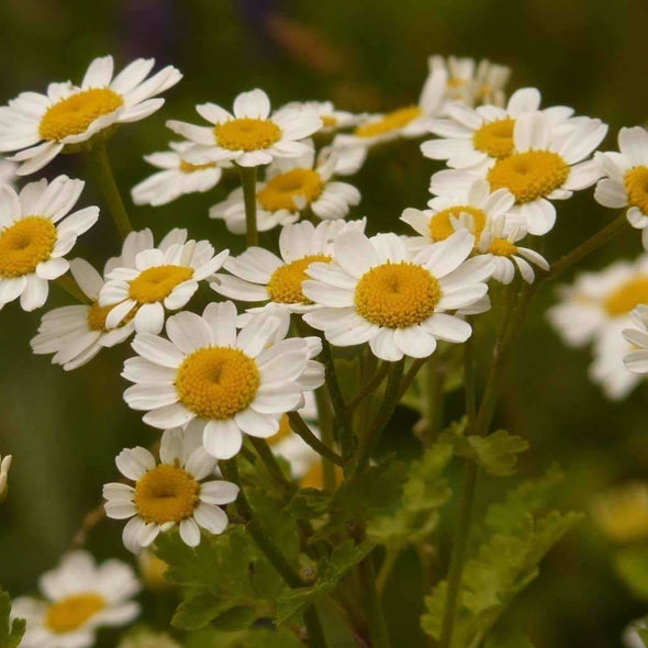 Feverfew - (Chrysanthemum Parthenium) Seeds
