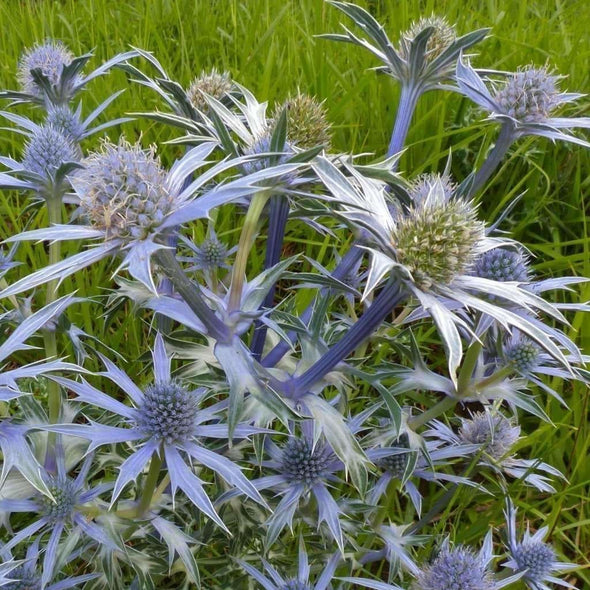 Flat Sea Holly (Blue) - (Eryngium Planum) Seeds