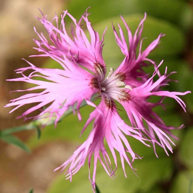 Fringed Pink - (Dianthus Superbus) Seeds