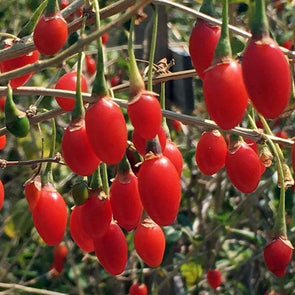 Goji Berry - (Lycium Chinense) Seeds