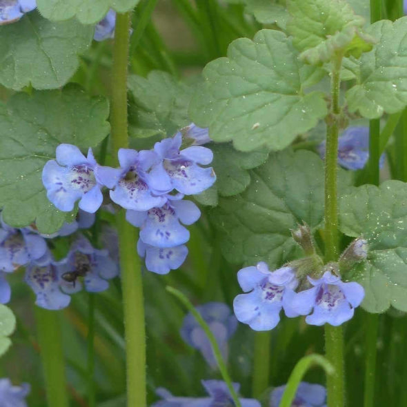Ground Ivy - (Glechoma Hederacea) Seeds