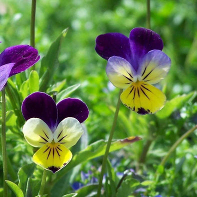 Heartsease - (Viola Tricolor) Seeds