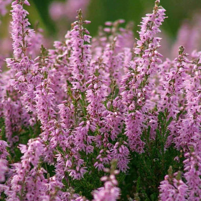 Heather Common - (Calluna Vulgaris) Seeds