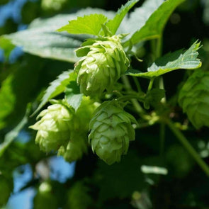 Hops Common - (Humulus Lupulus) Seeds