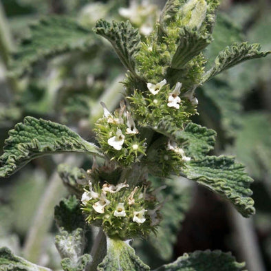 Horehound - (Marrubium Vulgare) Seeds