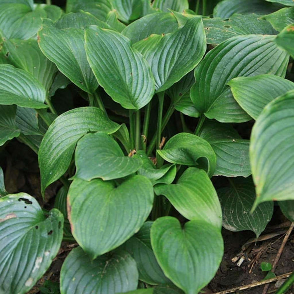 Hosta Blue - (Hosta Ventricosa) Seeds