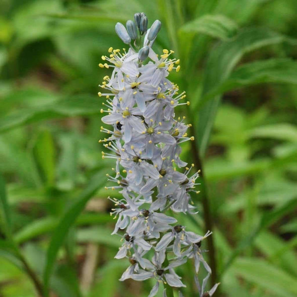 Hyacinth Wild - (Camassia Scilloides) Seeds