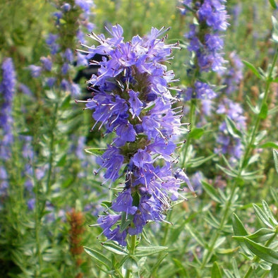 Hyssop - (Hyssopus Officinalis) Seeds