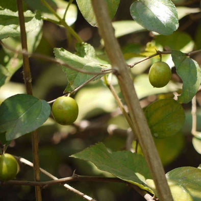 Indian Jujube - (Ziziphus Mauritiana) Seeds