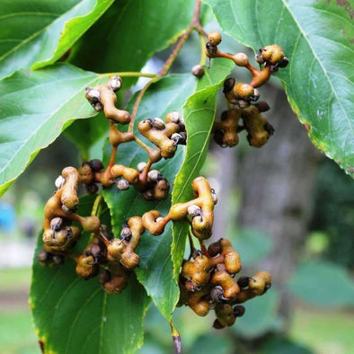 Japanese Raisin Tree - (Hovenia Dulcis) Seeds