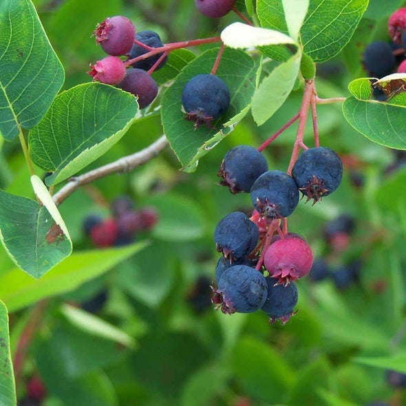 Juneberry - (Amelanchier Lamarckii) Seeds