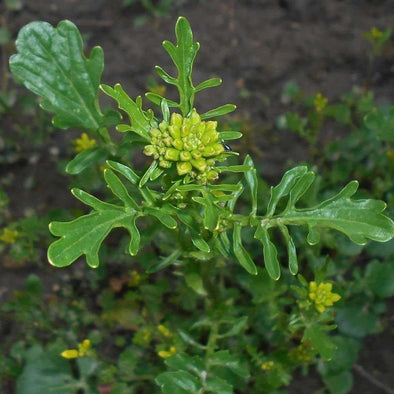 Land Cress - (Barbarea Verna) Seeds