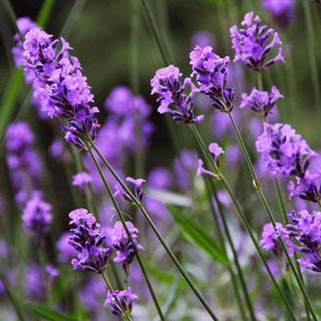 Lavender English - (Lavandula Angustifolia) Seeds