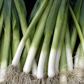 Leek King Richard - (Allium Porrum) Seeds