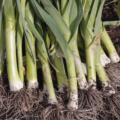 Leek King Sieg - (Allium Porrum) - Ossi Seeds