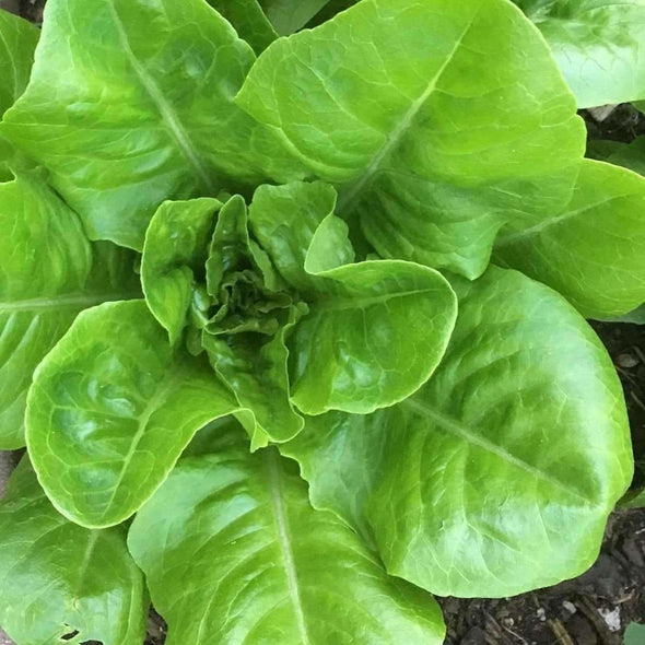 Lettuce (Butterhead) Little Gem - (Lactuca Sativa) Seeds
