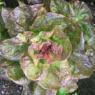 Lettuce (Butterhead) Marvel Of Four Season - (Lactuca Sativa) Seeds