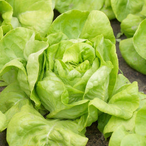 Lettuce (Butterhead) White Boston - (Lactuca Sativa) Seeds