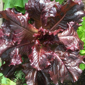 Lettuce (Leaf) Lolla Rosa Darky - (Lactuca Sativa) Seeds